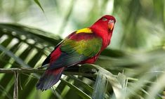 pictures of all breeds of birds | 11-Bird-Chattering-Lory2.jpg