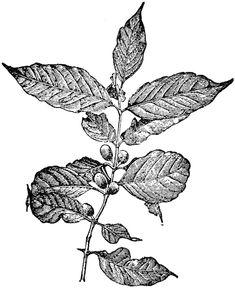 coffee bean tree illustration - Google Search