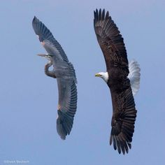 This Bald Eagle was chasing the Great Blue Heron away from the eggs in her nest. It wasn't trying to kill the Heron or she would have done so long before this once in a lifetime shot was captured. Photo by Owen Deutsch