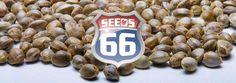 Bei Seeds66 kannst du Hanfsamen kaufen und die beliebtesten Hanfsorten online…