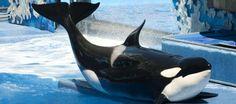 California prohíbe los espectáculos con orcas y su cría en cautividad  ... - http://www.vistoenlosperiodicos.com/california-prohibe-los-espectaculos-con-orcas-y-su-cria-en-cautividad/