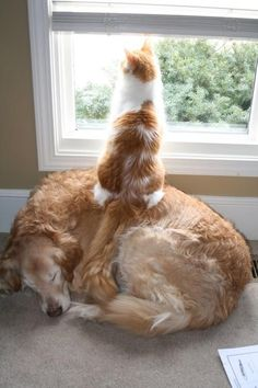 Cat sitting on top of a sleeping dog so that it can see out of the window.... true meaning of friendship!