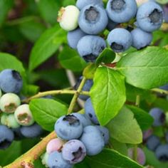 image Diabetes, Blueberry, Fruit, Image, Berry, Blueberries