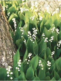 Lily of the Valley (Kiki's List: Curb Appeal)