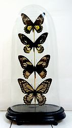 Antieke stolp met Ornithoptera vlinders. In deze bijzondere stolp zitten een viertal Ornithoptera en Troides dames van de soorten Priamus, Croesus en Helena. Deze dames behoren tot de grootste uit het vlinderrijk en hebben een prachtige tekening in zwart en geel.