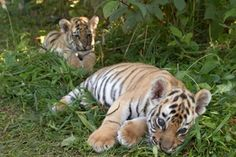 Rare Sumatran tiger cubs born at Smithsonian National Zoo on August 5, 2013 --only 400-500 of the Sumatran tigers exist in the wild--they're critically endangered