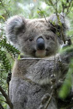 This young koala from southeastern Australia may look docile and cuddly, but it also has large, sharp claws and a strong bite. Photo by Colin Briscoe.