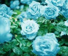 Blue roses?
