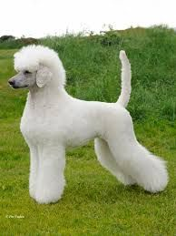 Image result for continental poodle cut