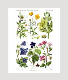 Woodland Wild Flowers Print no.2, Goldilocks Sweet Violet Vintage Botanical Illustration Wall Art, Country Decor, Girl's room Decor,