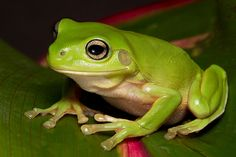 Litoria caerulea (Green Tree Frog) by Brad Douglas on Animals And Pets, Baby Animals, Cute Animals, Animals Planet, Wild Animals, Green Tree Frog, Green Trees, Pet Frogs, Frog Pictures