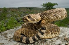 A western diamondback rattlesnake (Crotalus atrox) in the foothills of the Wichita Mountains in Oklahoma. Studies are showing that rattlesnakes that have the genetic tendency to migrate are being killed in ever-increasing numbers on our nation's roads, leaving those snakes with non-migrating tendencies behind to breed.