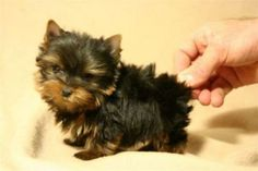 Teacup Yorkshire Terrier...the cutest!