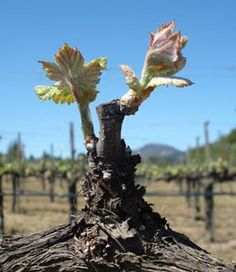 Pruning Grape Vines: An Overview - eXtension