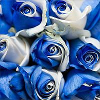 Roses - Tinted Blue and White - 100 Stems - Sam's Club