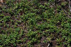 Vanamo Herbs, Plants, Food, Essen, Herb, Meals, Plant, Yemek, Eten