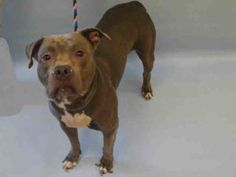 MURDERED 8/25/16 Manhattan center KING PUP – A1086629 MALE, BLUE / WHITE, AM PIT BULL TER MIX, 3 yrs OWNER SUR – EVALUATE, NO HOLD Reason MOVE2PRIVA Intake condition EXAM REQ Intake Date 08/22/2016, From NY 10040, DueOut Date 08/22/2016,