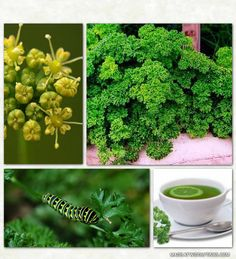 Superfoods are foods with a rich nutritional profile and/or extraordinary medicinal benefits. Parsley is the world's most popular herb and it has one of the highest in nutritional profiles of all the green leafy plants.