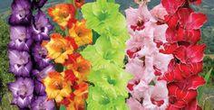 Cómocultivar gladiolos, plantarlos y conservarlos. Cultivar gladiolos no es algo difícil y la satis