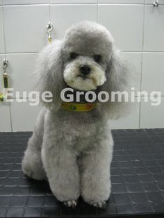Grooming on a Poodle