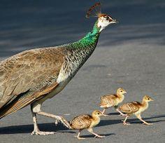 Peacock crossing!