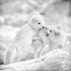 Arctic Foxes by Jory Griesman on 500px