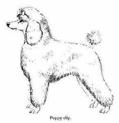 Puppy Poodle Clip. #poodleclip #poodlecut