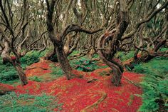 Rata forest, Enderby island, New Zealand