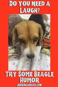 Beagle Humor! Beagle Memes and Funny Beagle Pics! | Barking Laughs