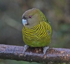 Brehm's Tiger-Parrot (Psittacella brehmii) by Jerry Oldenettel.