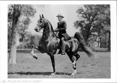 American Saddlebred Wing Commander - an ancestor of my horse's.