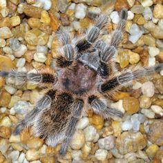So, You Want a PetTarantula? - Reptile   Pet Care Corner by PetSolutions - PetSolutions Blog