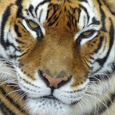 Miércoles / Wednesday  #nofilter #tiger #tigre #face #cara #wildlife #animal #animals #felinos #instagood #instadaily