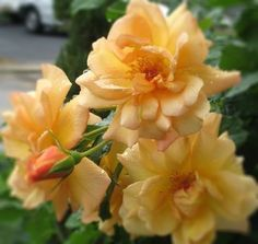 Rosa floribunda 'Autumn Sunset' ('Gul Westerland') | Zon 4. Klätterros som med kraftigare beskärning även kan användas som buskros. Rikligt blommande med medelstora, fyllda gula blommor. Kraftig och delikat, fruktig doft. Remonterande blomning juni-okt. 1,8 x 1,2 m.