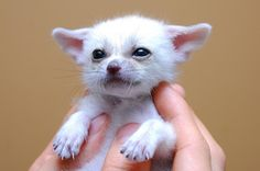 Baby white albino fox being held in someone's hands.