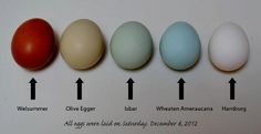 chickens & egg colors