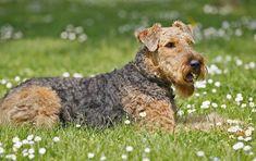 Airedale Terrier liegend