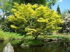 Acer japonicum - Full Moon Maple- Z5.     Plants mature into broad spreading, 20-30' trees