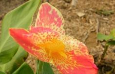 Canna Lily Seeds ★ PINK SPLASH ★ Cannaceae ★ Exotic Blooms ★ 4 Seeds