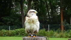 Könisbussard auf Sitzwarte in Beobachtung vom Adler und Jagdfalkenhof zu...