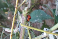 So You Want To Attract Some Ladybugs?