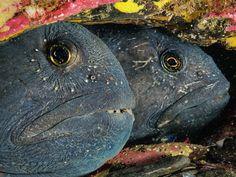 Aguas generosas · National Geographic en español. · Reportajes - El golfo de San Lorenzo  Una pareja de peces lobo atlánticos (el nombre alude a sus colmillos) se cobija en un refugio de la bahía de Bonne. La hembra se marcha tras la puesta, y es el macho el que cuida de los huevos. Undersea Images (imágenes submarinas)
