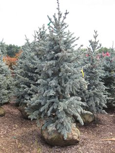 Hoopsii Blue Spruce is an irregular blue spruce with dense growth and should grow to maybe 30 feet tall.