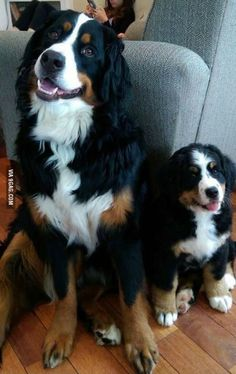 When we got our second Bernese mountain dog, our older one was so happy that day #BerneseMountainDog