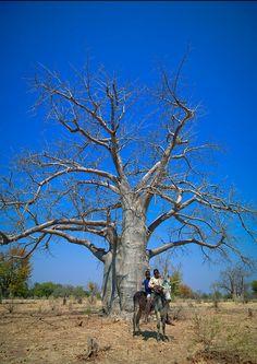 """Baobab avenue - Angola.""      Courtesie: Eric Lafforgue, Toulouse (France). Le Baobab, Portuguese Language, Toulouse France, Eric Lafforgue, Defence Force, Donkeys, West Africa, Republic Of The Congo, Continents"