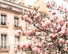 ... , Pink Magnolia Trees, Nursery Decor, Paris Home Decor - Blush Pink