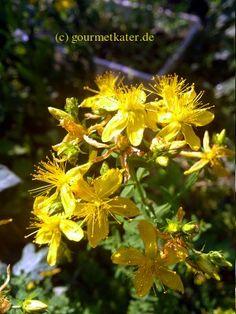 Gourmetkaters Garten: Gartenbilder... Johanniskraut #gardening #herb #flower