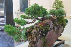 Midori Annual Show - Dupuich Bonsai Garden, Bonsai Trees, Planting, Rock, Plants, Bonsai, Skirt, Locks, The Rock