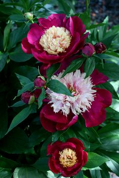 """Peony """"White Cap"""" Flowers~I've never seen these before~beautiful!"""