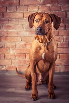 Rhodesian Ridgeback, the next dog we are getting in about 3 yrs. His name will be Ticonderoga - Ty for short